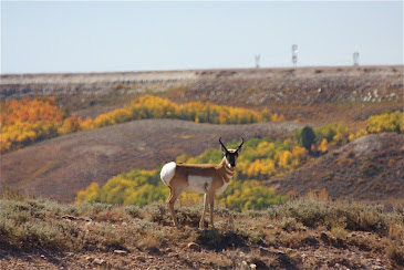 Pronghorn Antelope Buck- Wyoming