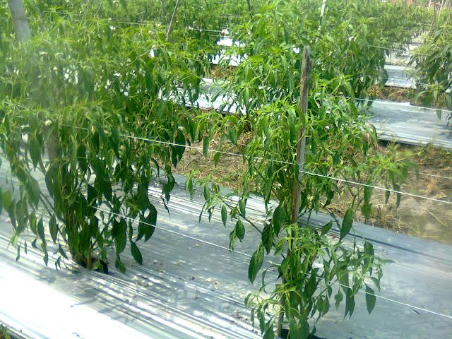 Tanaman Cabe Merah Diberikan Ajir/Tiang Dari Tongkat Bambu