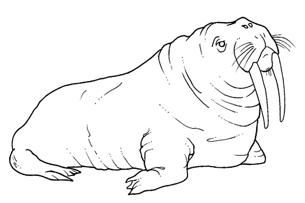 walrus coloring pages for kids - photo#20