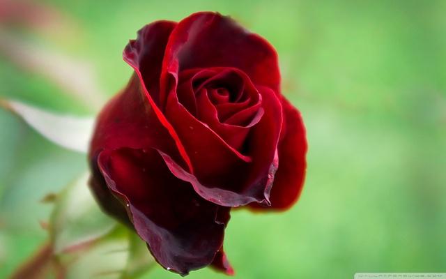 Top 10 hình ảnh hoa hồng đẹp tặng người yêu
