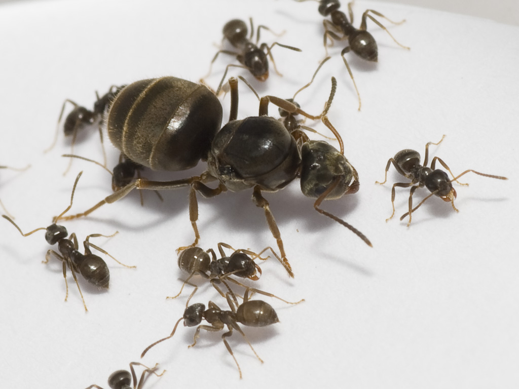 how to get a queen ant in ur colony