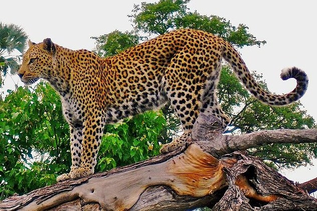gambar macan tutul