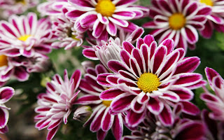 Pink White and yellow flowers stop and smell