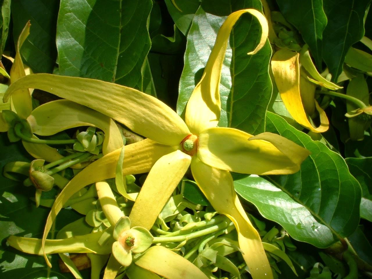 seminte si plante de gradina hobby ylang ylang cananga