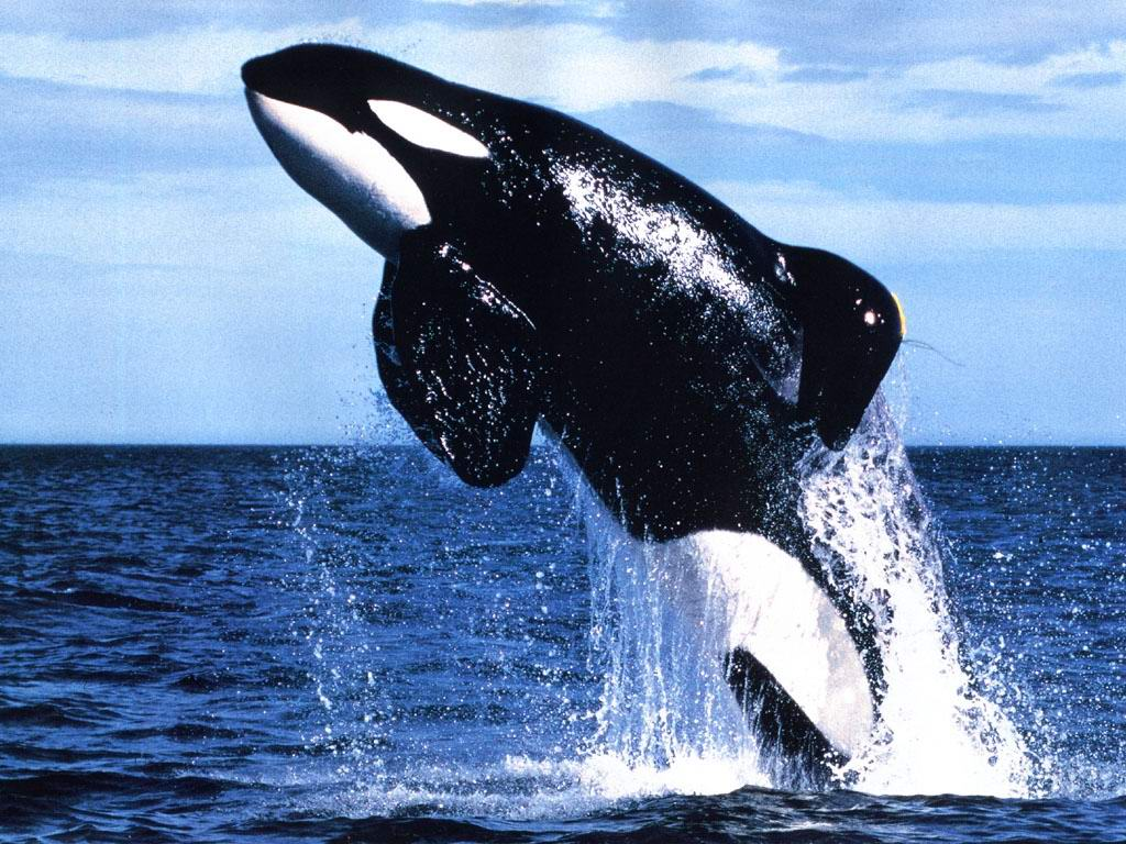 an overview of the species killer whale the largest dolphin How many species of whales are there 90  whats the biggest blue whale ever recorded  killer, narwhal, beluga, false killer, dolphins and porpoises .