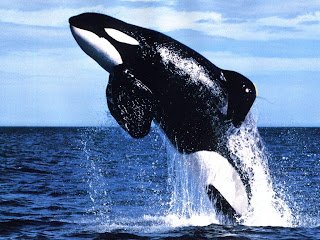 dolphin killer whale wallpaper animal sea dolphins lumba-lumba