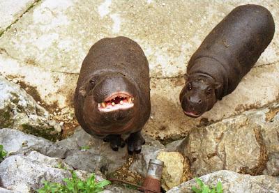 parque de Cabarceno, hipopotamos