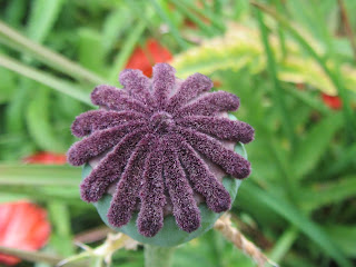 Poppy seed head bare