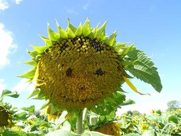 Janice The Sunflower