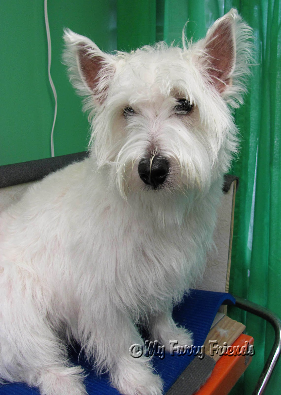 pet grooming the good the bad the furry westies. Black Bedroom Furniture Sets. Home Design Ideas
