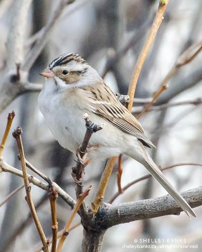 Regina Sparrow