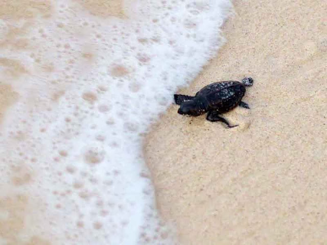 baby sea turtle at tideline