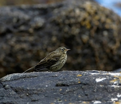 Rock Pipit Anthus petrosus