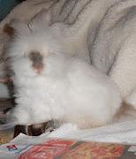 Dustie the English Angora Rabbit