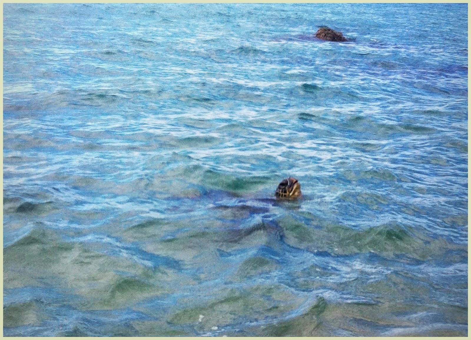 green turtle breathing in turtletown Maui