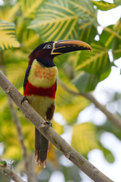A photograph of a Chestnut-eared Aracari taken in the Pantanal in Brazil