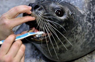 foca+cepillando+dientes Fotos de Animales chistosas.