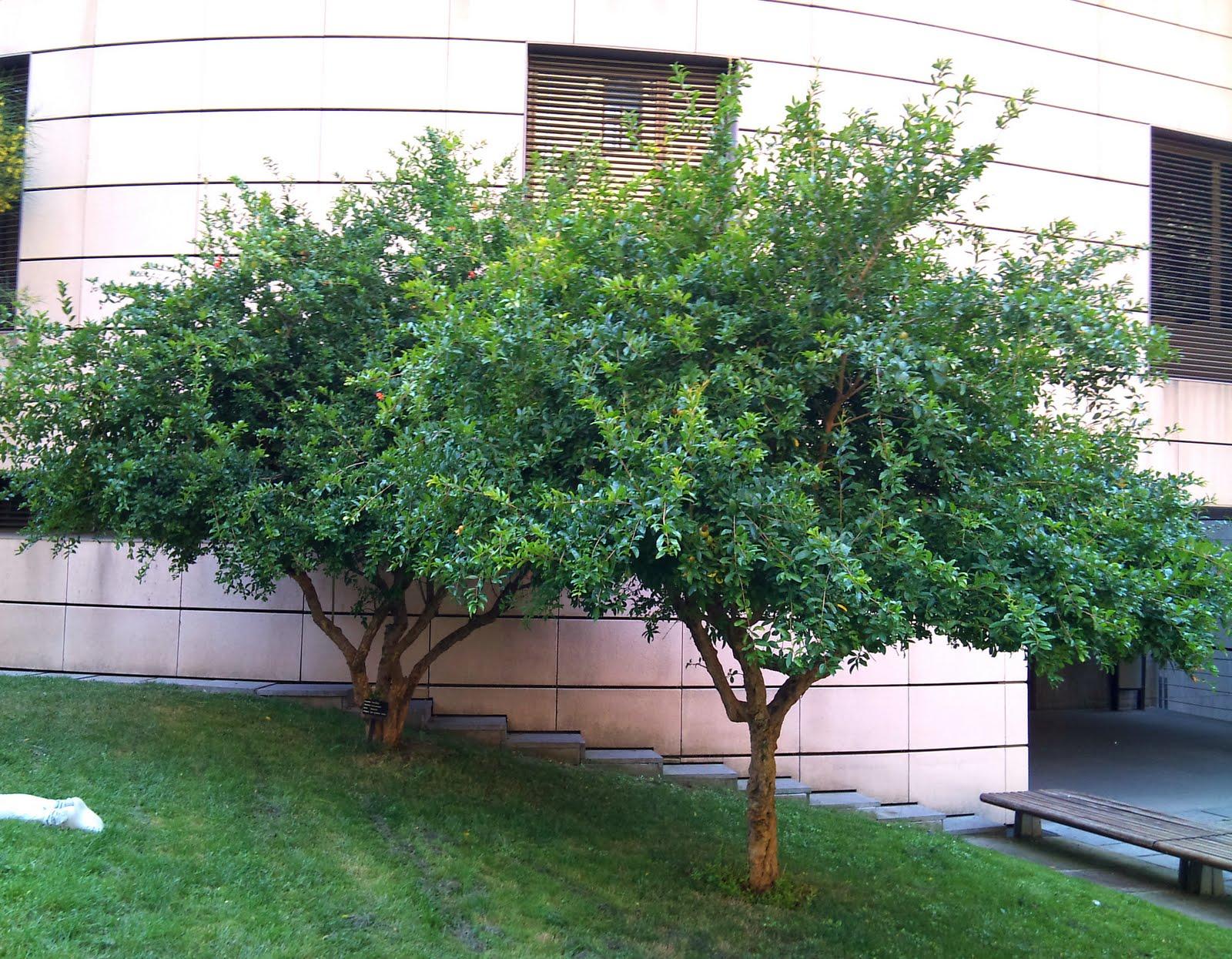 Rboles con alma granado magraner punica granatum for Arboles enanos para jardin