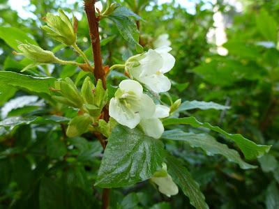 Rhododendron albiflorum (White-Flowered Rhododendron, Cascade Aazalea)