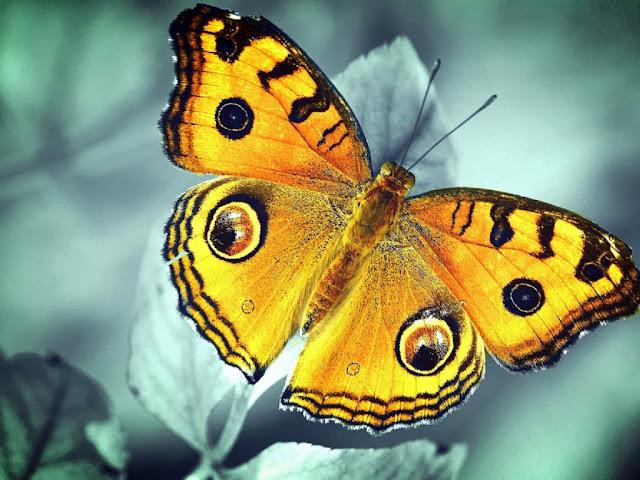 """<img src=""""http://2.bp.blogspot.com/-DBD6YLX3f9c/Uq2_tBvriaI/AAAAAAAAFiQ/-3NWJwdE4Qs/s1600/12a.jpg"""" alt=""""Butterflies wallpapers"""" />"""