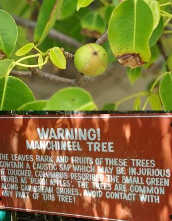Pohon Paling Beracun di Dunia