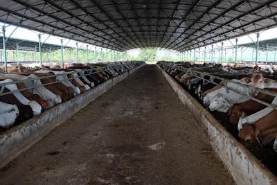 Hiện HAGL có 46 chuồng tại trại Gia Lai, 23 chuồng tại Lào, 18 chuồng tại Campuchia. Mỗi chuồng có khoảng 800 con.