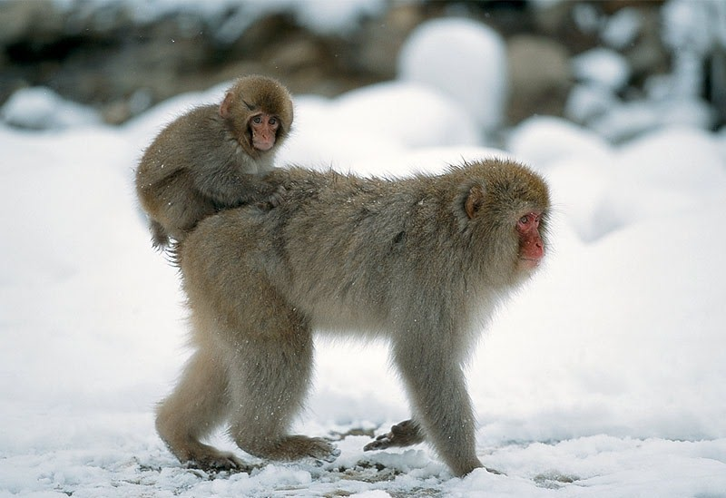 Edge Of The Plank: Cute Animals: Japanese Macaques (Snow ...