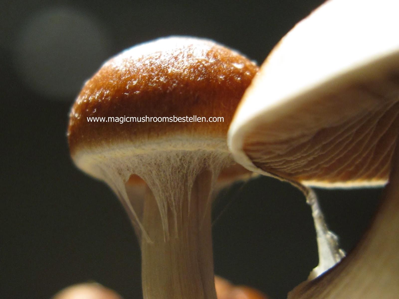 deine eigenen Magic Mushrooms in nur wenigen Wochen  2014