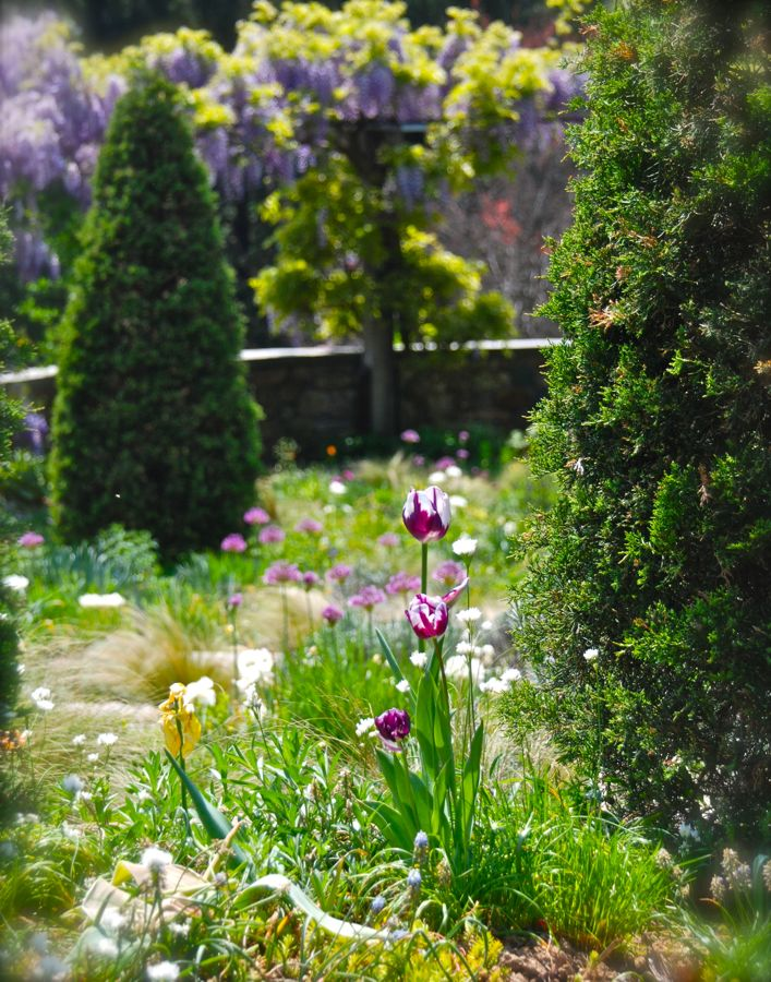 Tulipa 'Rem's Favourite' and white Allium neapolitanum framed by arborvitae, and looking down on a pergola covered in Wisteria sinensis 'Amethyst' ~ the Gravel Garden at Chanticleer.