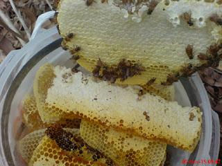 ternak lebah lokal apis cerana