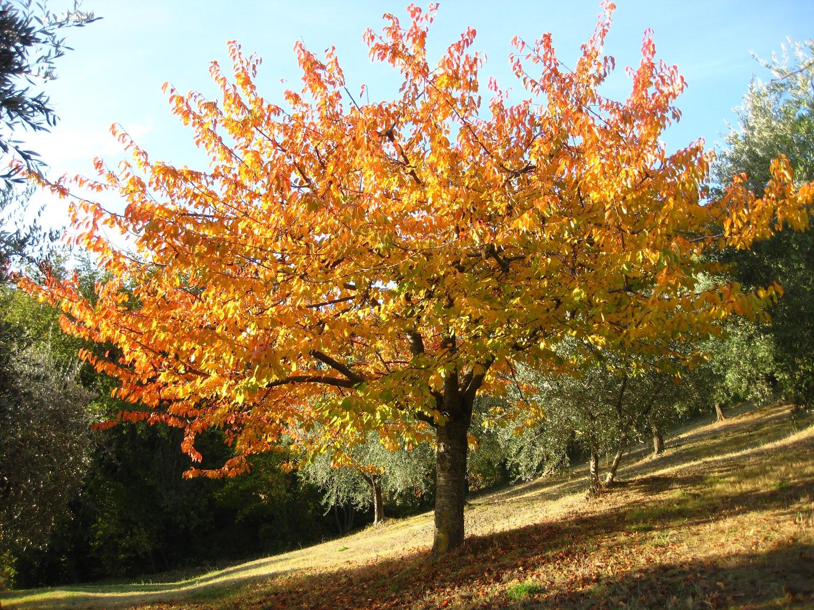 Itineris mei ciliegio in autunno for Albero ciliegio