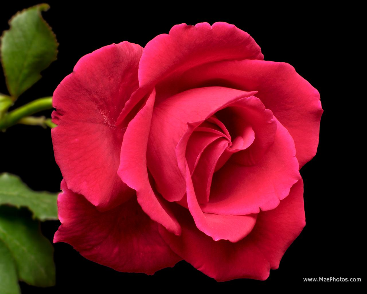 Black wallpaper red rose in black background for How to make black roses