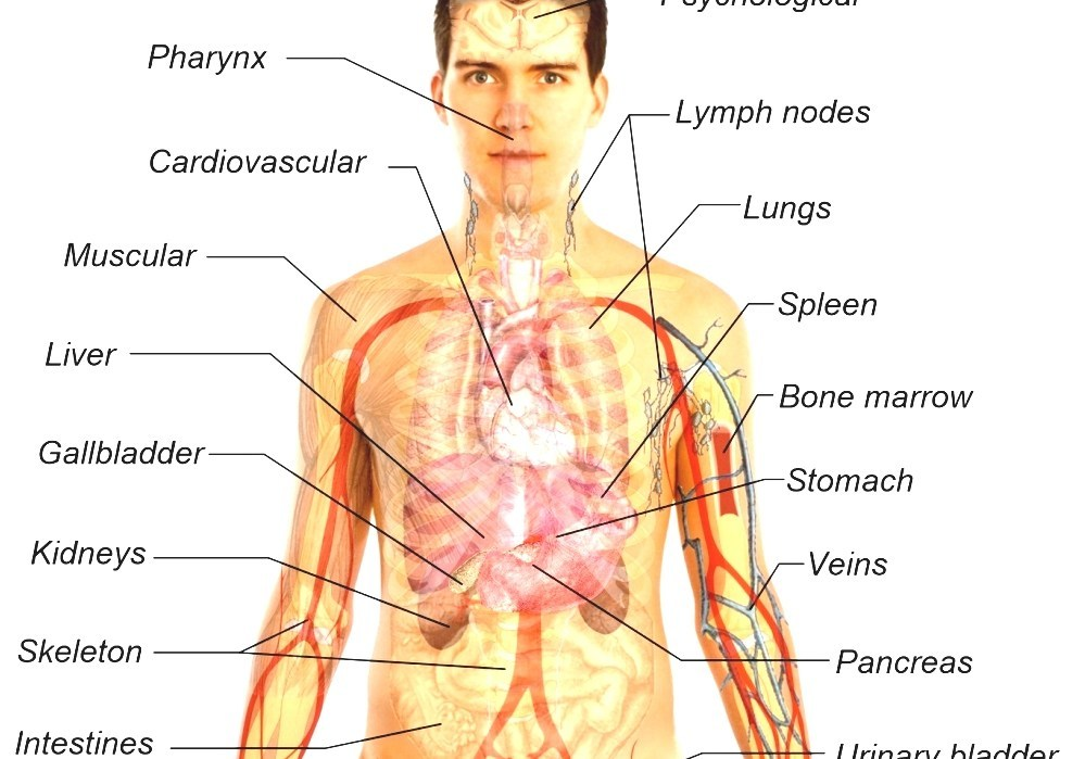 List Of Organs Of The Human Body Anatomy Of Human Body Organs