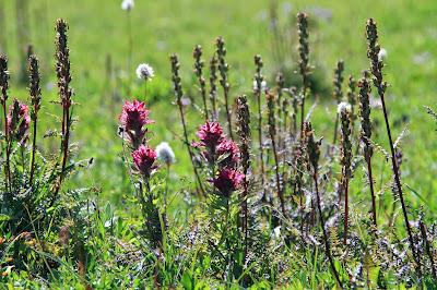 Pedicularis - Lousewort and Castilleja - Indian Paint Brush in Spray Park