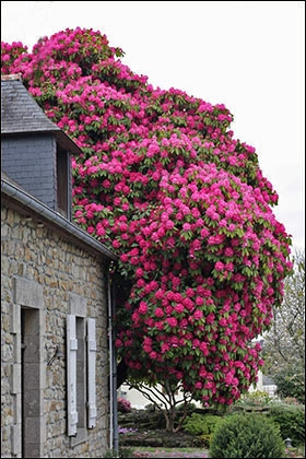 Xardinnova jardines con flor de temporada - Care azaleas keep years ...