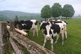 Cuidados para la Crianza de Vacas Lecheras
