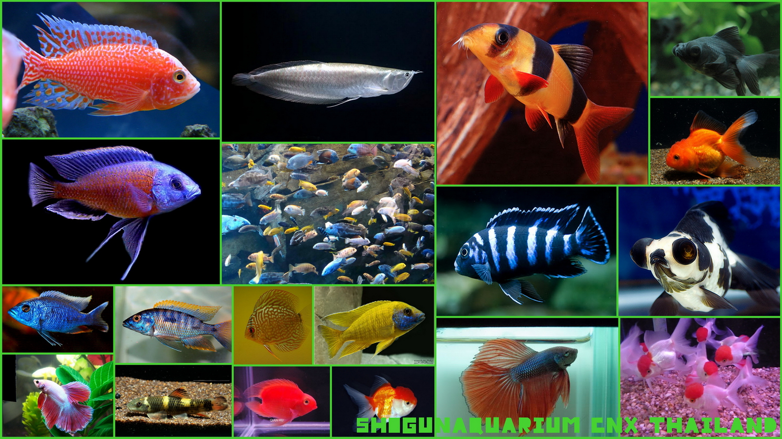 Shogunaquarium new arrival the list of fish 20 04 12 for 7 fishes list