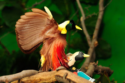 Birds of Paradise Birds Pictures