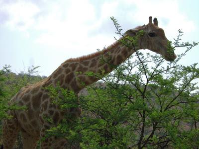 żyrafa z bliska, wycieczka RPA