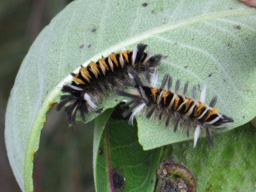 tiger tussock moth