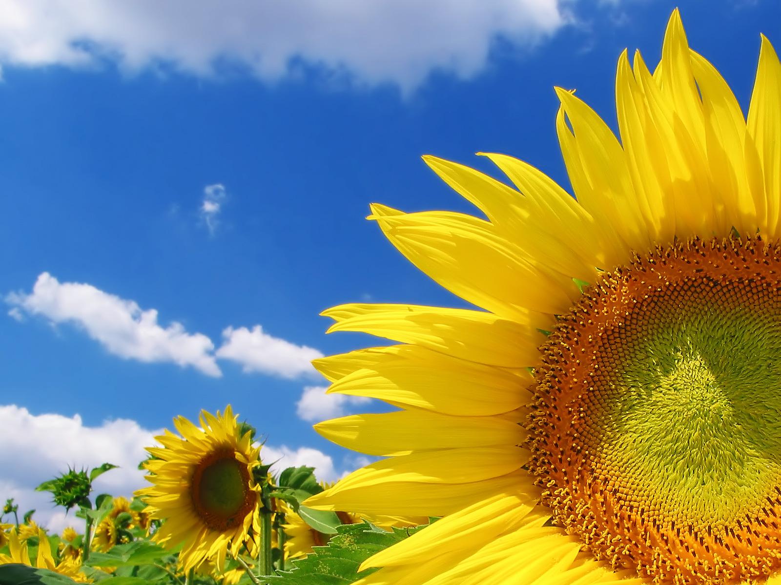 http://2.bp.blogspot.com/-DDz3XA8aXVc/Thl7f6w81yI/AAAAAAAAAi0/a77d4RBo5F4/s1600/1303953220_1600x1200_sunflower-hd-wallpaper.jpg