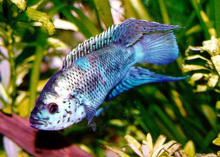 Jack dempsey fish with photos fish pictures online for Jack dempsey fish