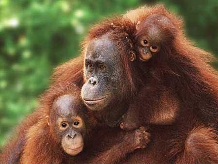 Sumatran Orangutan Interesting Facts and Pictures | Animal Wildlife