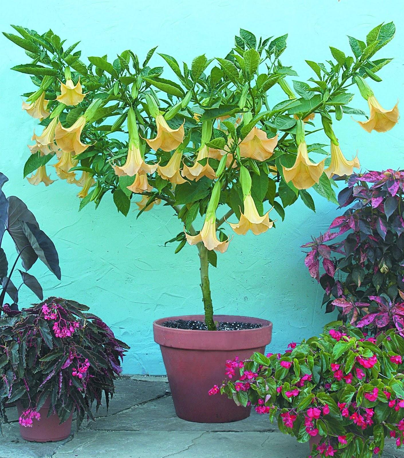 PlantWerkz Angel s Trumpet Brugmansia Suaveolens