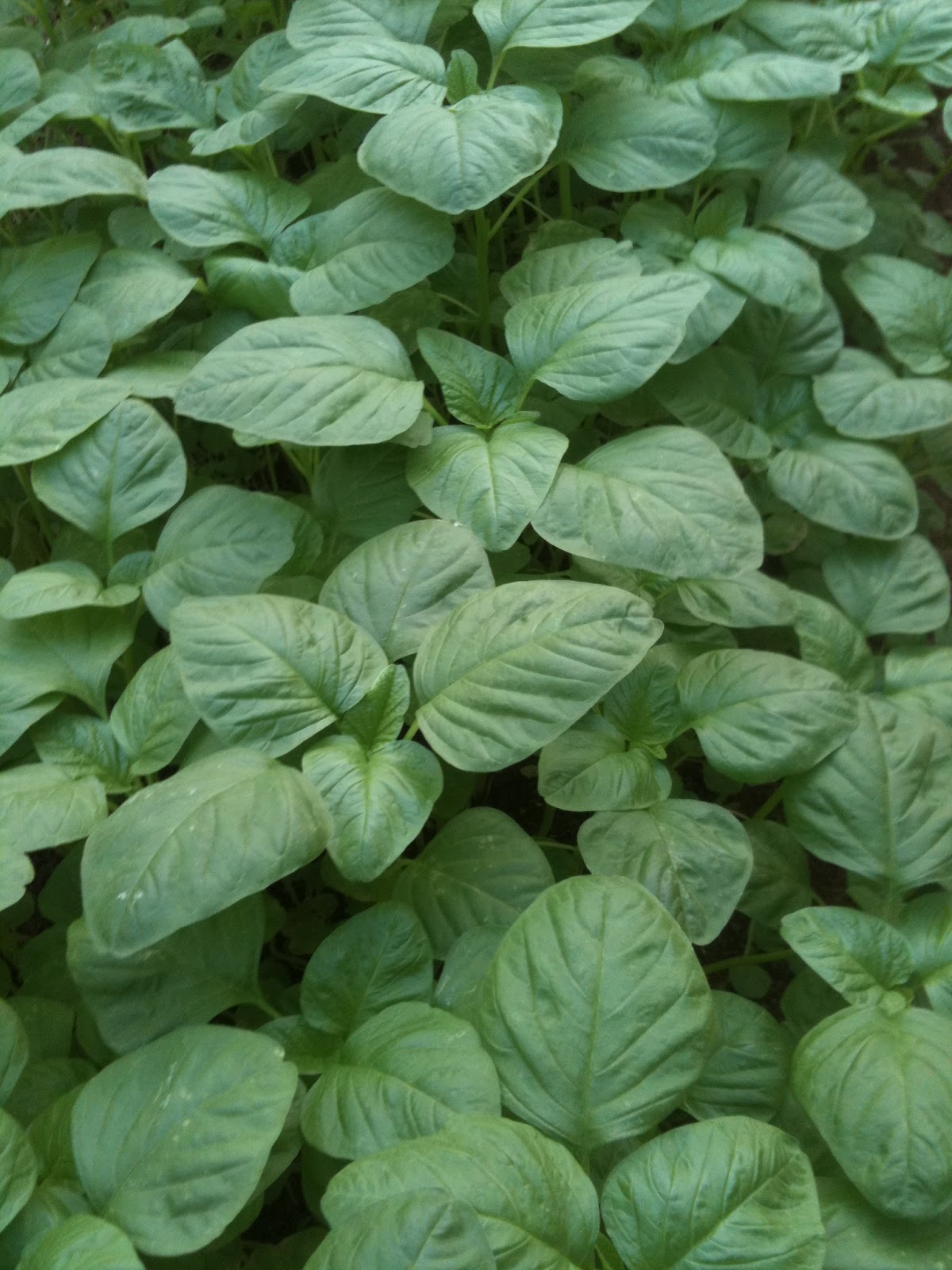 Generation Green: Spinach (Bayam)