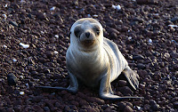 Cutest Baby Galapagos Sea Lion Ever on Rabida Beach