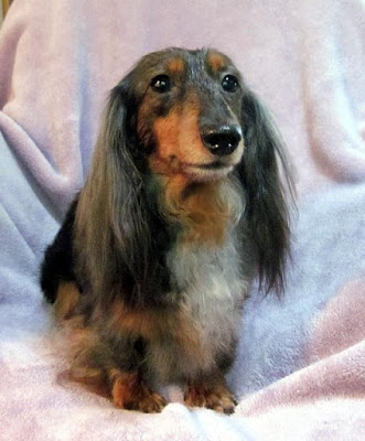Show dog mini Dachshund named Star
