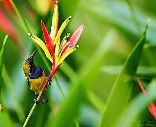 Burung Kolibri burung yang busa di temukan di benua Amerika , Terutama di Amerika Tengah dan Amerika Selatan. Burung kolibri kadang kala dikelirukan dengan ngengat rajawali karena ukuran dan cara terbangnya yang serupa saat berada di dekat bunga. Burung Kolibri burung yang busa di temukan di benua Amerika , Terutama di Amerika Tengah dan Amerika Selatan. Burung kolibri kadang kala dikelirukan dengan ngengat rajawali karena ukuran dan cara terbangnya yang serupa saat berada di dekat bunga. Jenis burung kolibri yang ada di indonesia, tau ga gan tentang burung pemakan nektaar ini ? ternyata burung klobir memiliki ratusan spesies yang tersebar di seluruh duniam, nah hampir semua jenis burung kolibri adalah burung pemakan nektar,di indonesia sendiri burung kolibri juga bisa dikatakan punya banyak jenis juga akan tetapi di artikel kali ini kami hanya akan membahas beberapa jenis yang cukup terkenal.  burung pemakan nektar ini dari ratusan spesies yang tersebar di seluruh  dunia ternyata ada yang bisa mengepakan sayapnya hingga 90 kali dalam satu detiknya, adajuga burung kolibri yang bisa terbang kebelakang, nah bahkan ada burung yang bisa terbang dengan jarak tempuh 15 meter / detik atau 54 km / jam.  selain itu burung kolibri juga merupakan jenis burung yang memiliki warna yang unik dan indah ada juga beberaapa jenis kolibri yang ada di indonesia yang memiliki warna mengkilap seperti burung kolibri ninja, tapi taukah anda ternyata burung kolibri merupakan salah satu jenis burung yang dilindungi oleh pemerintah indonesia yang sudah di tetapkan pada tahun 1999.  karena mungkin burung ini memiliki banyak ragam mungkin para kicaumania binggung dalam membedakannya hehe, nih biar ga binggung lagi silahkan di simak beberapa jenis burung kolibri yang ada di indonesia :  Burung Kolibri sepah raja    Nama : Kolibri sepah raja ciri khas kolibri sepah raja : warna merah dan warna hitam yang kinclong di kepalaya menjadi ciri khas burng in makanan :nektar, air gula,    Burung Kolibri 