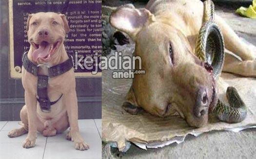 kisah pengorbanan anjing