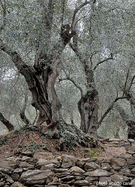 ulivi di Liguria